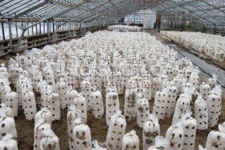 Собственное дело: выращивание грибов вешенка.